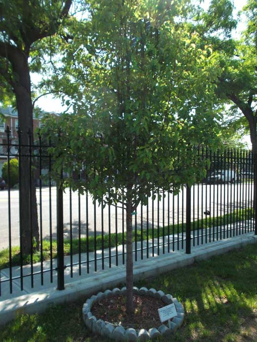 Memorial-Tree-at-Canarsie-Cemetery